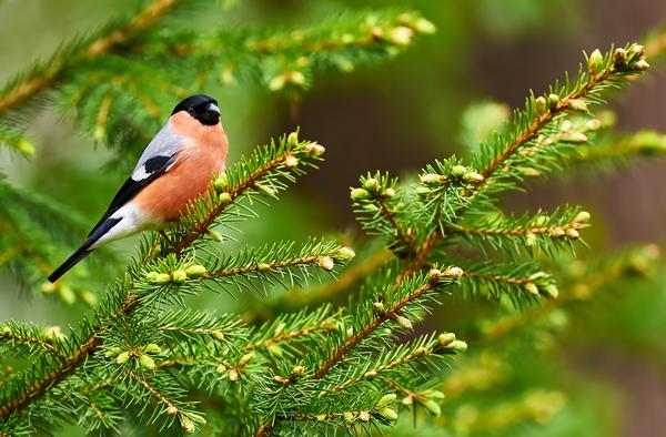 Le site du r seau des crie wallons criemariemont - Eloigner les oiseaux des arbres fruitiers ...